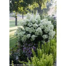 hydrangea white proven winners 1 gal bobo hardy hydrangea paniculata live shrub