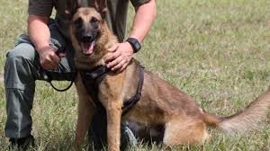 belgian shepherd killed broward sheriff u0027s office k 9 mistaken for coyote and shot sun