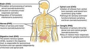 What Is The Main Function Of The Medulla Oblongata Central Nervous System Wikipedia