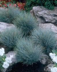 native plant centre blue fescue u0027blaufuchs u0027 u2022 festuca glauca u0027blaufuchs u0027 u2022 grey fescue