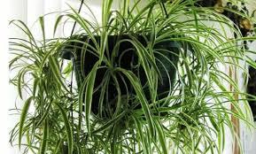 spider plant u0027 chlorophytum comosum condo friendly plants youtube