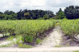 Sinkhole Florida Map by Alturas Blueberry Farm In Polk County Florida Saunders Real Estate