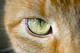 Anatomy Of A Cats Eye 4 Cool Facts About Cat Eyes Catster