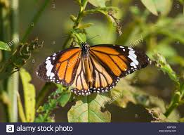 common tiger butterfly india stock photos common tiger butterfly