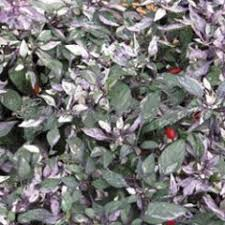 ornamental pepper calico seeds summer hill seeds flower seeds
