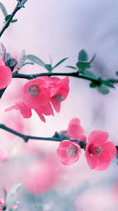 vintage pink blossom flowers spring macro android wallpaper free