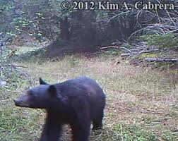 Running Bear Meme - how to identify black bear tracks and signs