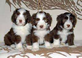 bearded collie adoption bearded collie breed guide learn about the bearded collie