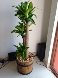 palo de brasil indoor plant home ideas pinterest plants