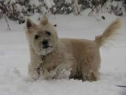 brindle cairn haircut cairn terrier dog breed information guide all about cairn terriers