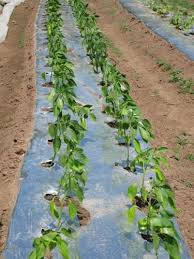 weed management strategies for organic tomato pepper and