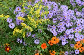 new york native plants companion plants for asters u2013 gardeninacity