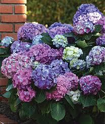 Flowers For Morning Sun - perennial flowers border sun shade perennial plants seeds