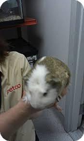 australian shepherd las vegas teddy adopted north las vegas nv guinea pig