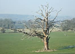 file dead oak tree kelston park geograph org uk 694502 jpg