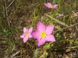 manitoba native plants meadow pink sabatia campestris oklahoma wildflowers pinterest