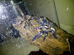 poecilotheria metallica gooty sapphire ornamental mating