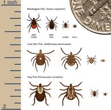 life cycle of hard ticks that spread disease ticks cdc