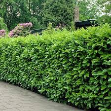 Best Trees For Backyard by The Best Trees To Plant In The Backyard For Some Privacy Quora