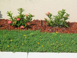sunset specialty groundcoverornamental peanut archives sunset