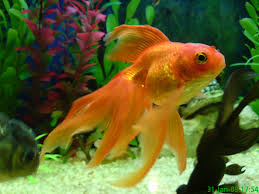 fancy goldfish for sale at aquarist classifieds
