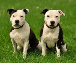 american pitbull a terrier 16 lovable bully dog breeds that you should get before you die