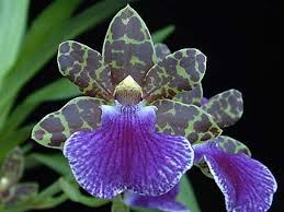 Fragrant Indoor House Plants - zygopetalum artur elle lovely fragrance amazing orchids