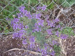 Names Of Purple by Wildflowers The Trees U0026 Flowers Of Whangarei