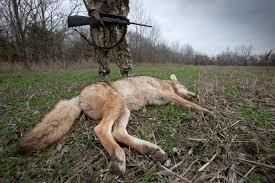 Coyote In My Backyard 8 Mistakes Rookie Coyote Hunters Make Predator Hunting Realtree