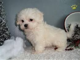 shichon haircuts the 25 best shichon puppies for sale ideas on pinterest cute