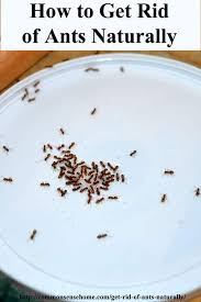How To Kill Ants In The Kitchen by How To Get Rid Of Ants Naturally U0026 Why You Should Protect Outside Ants