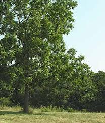 overstory trees atlanta tree care company tree maintenance
