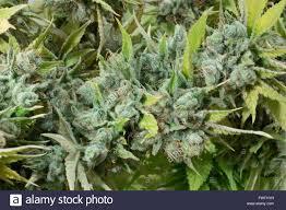marijuana bud closeup marihuana macro cannabis flower stock