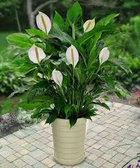 low light flowers top photo of low light flowering house plants best flowers and