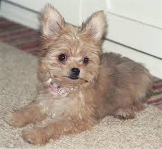 pictures of shorkie dogs with long hair ellie the chorkie puppy at 5 months old yorkie dad and a long