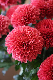 november flowers the chrysanthemum mother s day flower of choice every day is