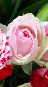 Meaning Of Pink The Meaning Of Roses U2013 Abigail Huntington