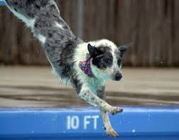australian shepherd blue heeler mix playful pooches get a chance to cool off during annual k 9 splash