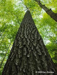 white pine trees trees of wisconsin pinus strobus white pine