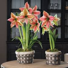 amaryllis bulb gifts from jackson perkins