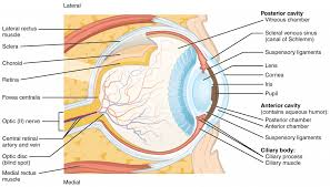 structure of the eye diagram human anatomy library