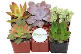amazon com cacti u0026 succulents patio lawn u0026 garden