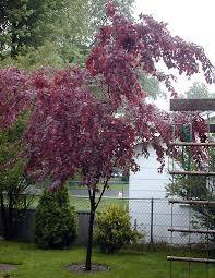 purple leaf plum tree landscape ideas plum tree