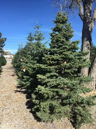 christmas trees heidrich u0027s colorado tree farm nursery