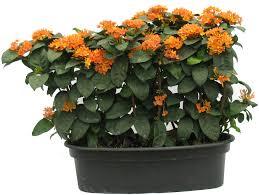 Light Orange Color by Buy Ixora Light Orange Color Flowering Plant Online At Best Prices