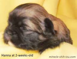 shih tzu with curly hair shih tzu hair color changes wonder why these changes occur