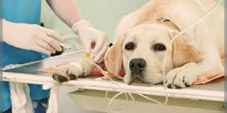 boxer dog kidney problems kidney failure in pet dogs on the rise in mumbai dogexpress
