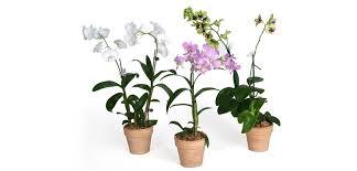 dendrobium orchids orchid dendrobium costa farms