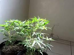 250 watt hid grow lights 250 watt mh grow youtube
