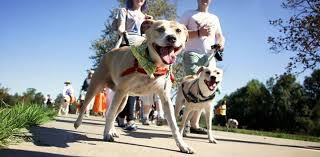 american pitbull terrier breeders st louis stray rescue of st louis strut your mutt 2017 for stray